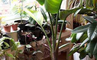 Стрелиция — розмноження насінням, діленням коренів, бічними пагонами, пересадка і вибір грунту, відео