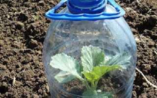 Капуста — метод вирощування без розсади у відкритому грунті, відео