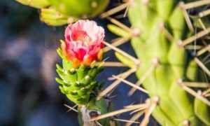 Аустроциліндропунція — оригінальний кактус для ледачих квітникарів. Догляд в кімнатних умовах. фото