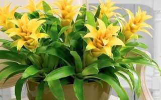 Гузмания квітка. Опис, особливості, види і догляд за Гузмания