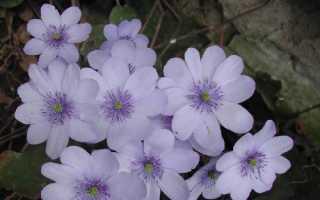 Сангвінарія квітка. Опис, особливості, види і догляд за сангвінарія