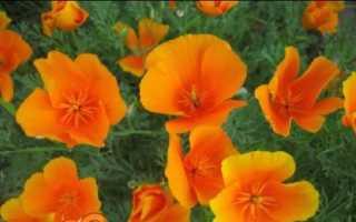 Ешшольція — вирощування з насіння, коли садити на розсаду. Посадка і догляд. Сорти з фото