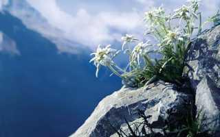 Едельвейс — сибірський, альпійський, курильське, двоколірний, опис, відео