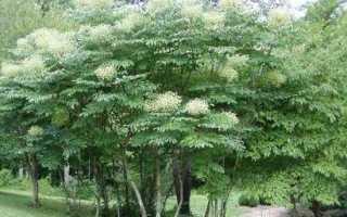 Аралия рослина. Опис, властивості, види і догляд за Арал