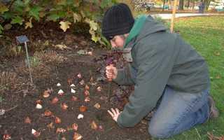 Тюльпани — коли садити цибулини восени в Сибіру і Підмосков'ї, як зберігати до посадки, відео