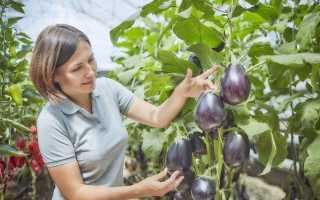 Баклажан — овоч довголіття