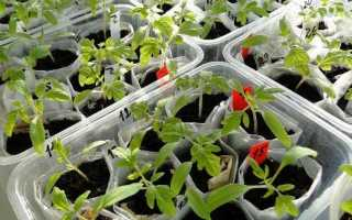 Коли і як пікірувати розсаду томатів 2019: терміни, правила та покрокові інструкції |