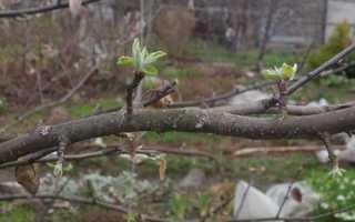 Яблуня — як змусити цвісти і плодоносити, відео