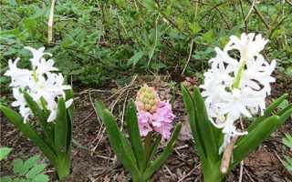 Коли потрібно викопувати гіацинти після цвітіння, як зберігати цибулини + відео