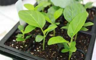 Вирощування розсади баклажанів в домашніх умовах. Коли садити? фото