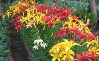 Правила підгодівлі лілій навесні для пишного цвітіння