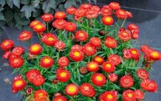 Геліхрізум — вирощування з насіння, коли садити. Посадка і догляд у відкритому грунті. Види, сорти з фото