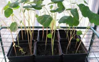 Настурція — вирощування розсади, пересадка в кашпо, відео