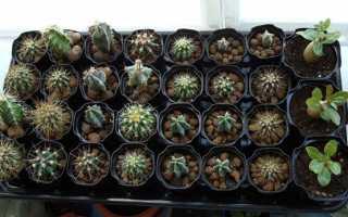 Посів насіння кактусів — як і коли сіяти, пересадка, догляд, відео