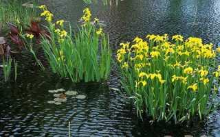 Ірис болотний — посадка і догляд, фото жовтого ірису, опис, відео