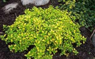 Чебрець лимонний — сорти, особливості вирощування, відео