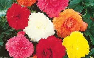 Дивовижна бегонія Фімбріата, особливості вирощування, види квітів, відео
