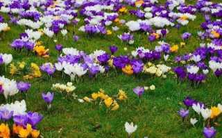 Вирощування крокусів — квітучий килим на ділянці, відео