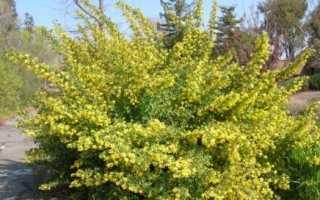 Золотиста смородина — ароматне золото в саду!