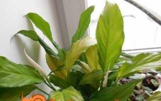 Чому не цвіте спатифиллум?