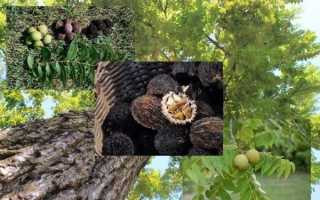 Горіх чорний — посадка і догляд, де росте, плоди, відео