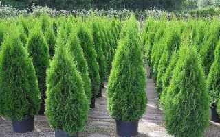 Туя смарагд дерево. Опис, особливості, посадка і догляд за туями смарагд