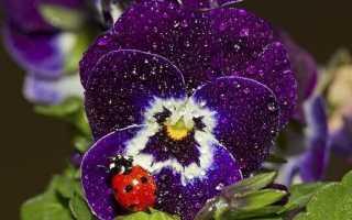Віола квітка. Вирощування віоли. Догляд за віолою