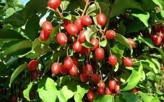 Гумі лох багатоквітковий — вирощування чагарнику, вибір саджанця, огляд сортів, відео