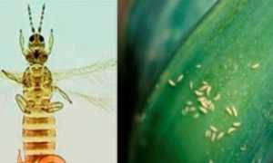 Основні хвороби та шкідники цибулі з фото