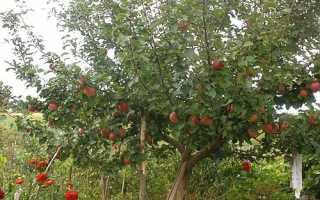 Фото і опис сортів яблуні для Уралу і Сибіру + відео