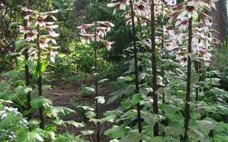 Лілейне дерево — посадка і догляд, вибір місця, підгодівля, відео