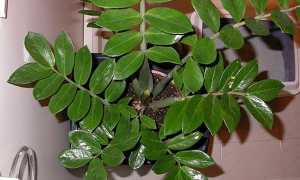 Доларове дерево — фото, догляд в домашніх умовах, як цвіте, відео