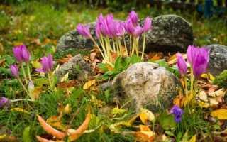 Осінні крокуси — короткий опис видів, посадка і догляд, відео