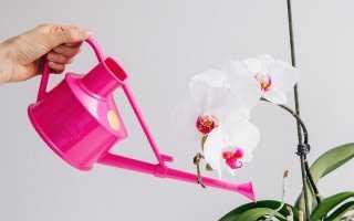 Як поливати орхідею в домашніх умовах? Особливості поливу в певний час розвитку. фото