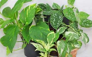 Види і сорти сциндапсуса для кімнатного вирощування — золотистий, перистий, розписний, відео