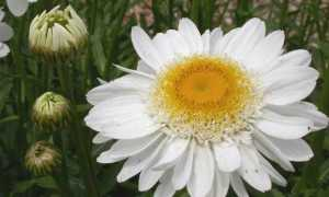 Ромен квітка. Опис, особливості, види і догляд за ромену