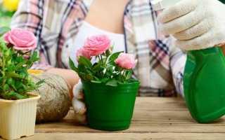 10 секретів вирощування кімнатних троянд. Освітлення, вибір місця, догляд в домашніх умовах. фото
