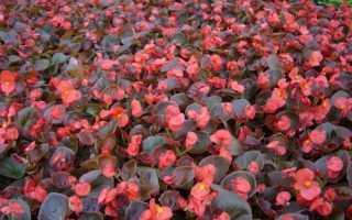 Підбір насіння квітів для килимовій клумби, відео