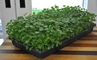 Вирощування Мелліс — посів насіння, догляд за розсадою, відео