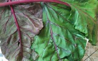 Чому червоніють листя у буряка і що з цим робити, відео