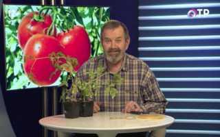 Щеплення томатів на два кореня зрощенням — аблактіровкі. Відео