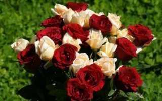 Хвороби троянд з фото і описом, способи лікування і обробки