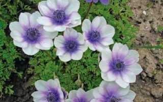 Анемони квіти. Опис, особливості, види і догляд за анемонами