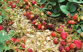 Правильна посадка полуниці — запорука гарного врожаю, відео