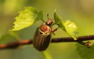 Комахи-шкідники саду — огляд хруща, попелиці та олёнкі волохатою, відео