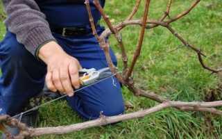 Коли обрізати виноград навесні, восени і влітку, відео