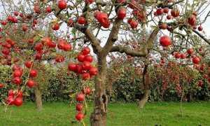 Як виростити яблуню?
