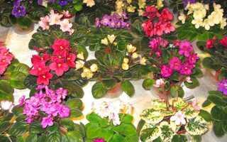 Кімнатні фіалки — фото, назви, сорту Африканська ніч, Рожева акварель, Шато Брион