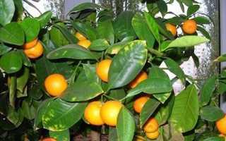 Як виростити апельсин з кісточки в домашніх умовах