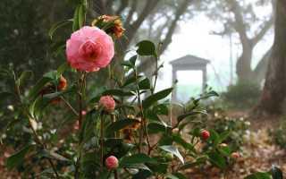 Камелія — догляд та вирощування в саду, посадка кучерявою камелії садової, фото, відео